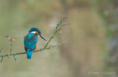 Martin pcheur (Corinne Mnardi) Tags: aves birds commonkingfisher coraciiformes oiseaux alcdinides ddo httpswwwflickrcomphotostagswwwlesamisdudomainedesoiseauxfr