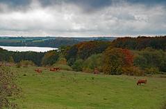 Fall at Lake Tystrup (pallefrejvald) Tags: colour cows beech autumn pentax