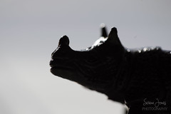 The Black Rhino (Serena178) Tags: macro macromonday rhino blackrhino blackandwhite straightoutofcamera bokeh animal zoo monday canon canon1dx 1dx photography photo photographer explore backlit
