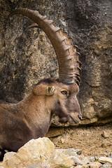 Ibex (Cloudtail the Snow Leopard) Tags: steinbock wildpark bad mergentheim tier animal mammal sugetier capra ibex