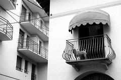 Somebody's watching me (Leica M6) (stefankamert) Tags: stefankamert street dog animal leica rangefinder m6 m film analog voigtlnder nokton ilford fp4 bw sw baw blackandwhite blackwhite schwarzweis city town white
