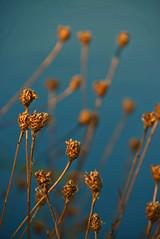 Wasserpflanze/ water plants (CreactCult) Tags: pflanze see lake plant nikond5300 bokeh tiefenschrfe blau blue