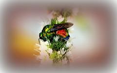 Alieno (ironmember) Tags: stilbumcyranum macro postproduzione pp pdc sfocato bokeh allaperto insetto vespa colori metallizzato fiori menta fioridimenta nikond90
