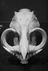 Warthog Animal Skull (shaire productions) Tags: skulls animal skull skeleton skeletal bones image picture photo photograph blackandwhite blackandwhitephotograph photography nature taxidermy halloween horror macabre pig horns tusks warthog science scientific study