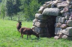 Home (edvard_m) Tags: goats scotland germany zoo park grass green home stones sheperd animals pentax