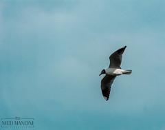 Gaviota de Cabeza Negra (Nicols Mancini) Tags: gaviota cabezanegra larusridibundus laridae gull black headed naturaleza ave birds