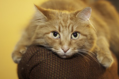 Clem Thursday: Toothless Impression (Photo Amy) Tags: adorable aminal canon50d cat cuddly cute cuteness ef50mm18 eartufts feline fluffy fur furry ginger kitten longhair longhaired orange pet precious red tabby toefur whisker whiskers