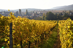 L'automne dans les vignes de Cleebourg (Excalibur67) Tags: nikon d750 sigma 24105f4dgoshsma paysage landscape automne autumn alsace vosgesdunord vignoble vigne jaune yellow globalvision