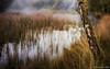 Natural fen (© Jenco van Zalk) Tags: autumn moss natural landscape nature water estate morning deciduoustree netherlands fen mist oktober swamp reed fog marsh birch naturereserve bog