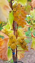 Herbst in der Pfalz (anne.stergatos) Tags: weinberge wein pfalz weinreben weintrauben