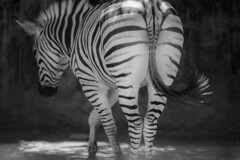 Zebra - lines (keikoellis) Tags: 70200mm28f lines blackandwhite nature portraits zoo zebra animal canon6d canon