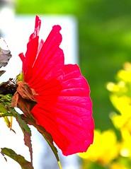 Red Translucence (vern Ri) Tags: red nikon d750 blumen fleur nybg garden