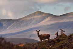 Red Deer in the Highlands (Gavin MacRae) Tags: reddeer reddeerhind reddeercalf cervuselaphus beinnabhaachard strathglass glenstrathfarrar glenaffric glencannich reddeerrut deer scottishhills scottishwildlife scottishnature highlandnature highlandwildlife highlandlandscape highlandsofscotland scotland nature nikon autumn autumnwildlife woodlandwildlife wildlife scottishlandscapes scottishlandscape scottishmountains