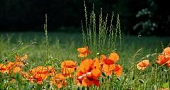 DSC_0871 -Coquelicots (Le To) Tags: extérieur nature fleurs flowers fiori coquelicots poppies papaveri