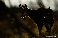Contour (Vianney Vaubourg) Tags: levé de soleil contre jour lumière couleurs orange silhouette nikon d3s nikkor 400f28 vr fl vaubourg vianney photographie 2016 animalier nature libre et sauvage by chamois hohneck vosges lorraine alsace france nikonflickrtrophy bokeh