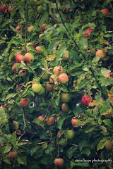 Lincolnshire garden apple's (SteveH1972) Tags: canon70200lf28usmnonis canon70200 canon700d 700d 700 scunthorpe northlincolnshire lincs lincolnshire apples apple nature northernengland britain uk british garden fruit green leaves leaf l llens outside outdoor outdoors
