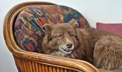"It Is ""Definitely""  Good To Be The Dog! (Good Morning Everyone :)) Tags: ddc itsgoodtobethedog 1853 shizandra dog animal canine female chocolatebordercolliemix"