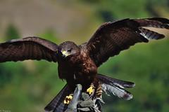 Bird of Prey (Mystycat =^..^=) Tags: rapace birdofprey oiseau hautespyrnes midipyrnes donjondesaigles beaucens chteaudebeaucens france 65 bird