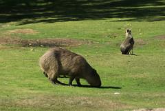 IMGP5037 (aramidus44) Tags: kolmrdens kolmrdenszoo animals wildlife kolmrdenswildlifepark kolmrdensdjurpark capybara