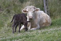 first calf for 2016 (cskk) Tags: currawong calving white cow brown calf farm nsw australia