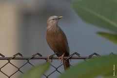 _DSC3017 (selim.ahmed) Tags: birds bangladesh uttora uttara dhaka smallbirds
