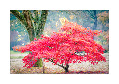 Standing out (Gies!) Tags: tree acer small red fall autumn colour maple leaf