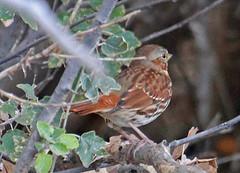 CAD0005125a (jerryoldenettel) Tags: 2016 emberizidae foxsparrow nm northroosevelttrap passerella passerellailiaca passerellailiacazaboria passeriformes redfoxsparrow rooseveltco bird passerine sparrow