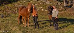 Horses in the sun (Toftus Photography) Tags: troms norge no hky grd troms horse hest sunsett sun autumn beauty beautiful colors color farve woman girl jente pige female femme femelle femenino vakker smuk hst efterr icelandic