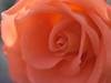 rose (upjohn_freak) Tags: rose flower fiore fleur rosa 花 explore