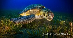 Close up turtle (H2O Divers Dahab) Tags: turtles seagrass underwater life