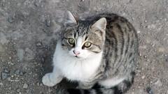 TEKR (hasyuk38) Tags: tekir karakedi cat kedi kediler hasanyksel