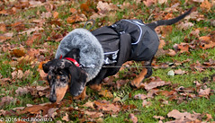 """Jetje"" showing her Winter Fashion  :)) (A.J. Boonstra) Tags: dog puppy pet teckel dackel dachshund hurtta brindleminiaturedachshund getijgerdedwergteckel canoneos canon70d canon sigma sigma18300mmf3563dcmacrooshsmc dapple wienerdog dwergteckel"