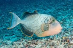 Yellowmargin Triggerfish (maractwin) Tags: pseudobalistesflavimarginatus fiji gau nigalipassage scuba yellowmargintriggerfish easterndivision fj