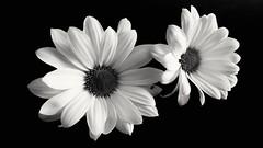iek - flowers (ercanpolat) Tags: nature natu natural flowers flower cicek iek doa macromondaysdailyrutins macromondays macro makro blackandwhite blackwhite bw siyahbeyaz siyah beyaz flickr mono monocromo creatif creative