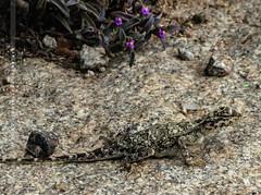 Peninsular Rock Agama (creati.vince) Tags: andhra creativince fauna horsleyhills travel trip agama lizard