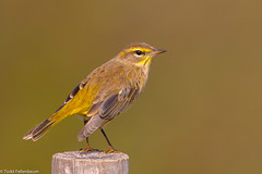 BJ8A6505-Palm Warbler (tfells) Tags: palmwarbler passerine migration bird nature nj newjersey mercer princeton