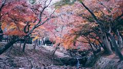 Nara Park  (kllauphotograph.com) Tags: nara park tree red autumn season fall leaves day vibrant bold strong narapark maple fallen dof bokeh romantic sony a7 samyang 85mm yellow