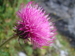 Greater_Knapweed_07 (Abbey_L) Tags: alps day2lacdeschambres flower france frenchalps greaterknapweed knapweed outbreakadventure samoens tjpio