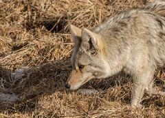 close coyote (chasingthewildoutdoors) Tags: yellowstonepark fall wyoming color coyote wildlife wildlifephotography wild mammal animal nature