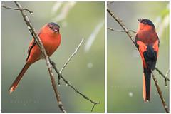 Sunda Minivet front & back (daniel ab 2007) Tags: eastjava indonesia sundaminivet minivet female red orange