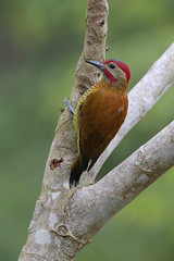 Golden-olive Woodpecker (Greg Lavaty Photography) Tags: goldenolivewoodpecker colaptesrubiginosus costarica october bird nature wildlife