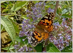 """Painted Lady Butterfly """"Vanessa cardui"""" (ro-co) Tags: tz35 panasonic butterflys paintedlady"""