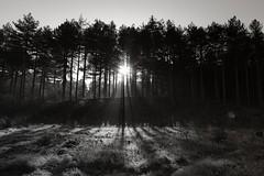 Formby Woods - November-2016_008_gpx (syberad) Tags: 2016 winter formby woods forest pine trees seaside coast coastal sssi sunrise morning landscape formbywoods formbynaturereserve merseyside november sunshot intothesun shadows shadow plants