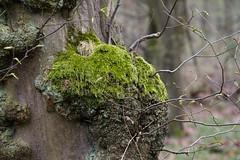 ckuchem-0283 (christine_kuchem) Tags: baumstamm baumstumpf bäume frühjahr frühjahrblüher frühling laubbäume laubwald moos stamm wald waldweg wulst bewachsen kahl kalhl naturnah äste