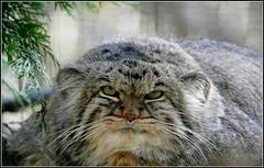 Manul (musicos95) Tags: manul chat flin parcdesflins