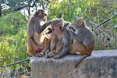 DSC_3469monkey (BasiaBM) Tags: swayambhunath monkey temple kathmandu nepal