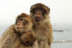 Family of Barbary Macaque (Simonrp_1984) Tags: family nature animal canon gibraltar apes eos500