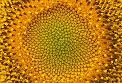 In the centre (Deb Jones1) Tags: flowers abstract flower nature beauty yellow canon garden outdoors flora sunflower blooms botanicals flickrawards debjones1