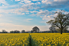 Yellow Field (Nanagyei) Tags: morning blue trees sky green colors field yellow sony windy oil stalbans rapeseed hss a700 hdrish rapseedoil slidersunday havetorevisitthisspot