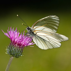 Aporia crataegi (Sinkha63) Tags: france macro nature animal wildlife thistle ngc explore papillon npc getty vercors cirsium blackveinedwhite gettyimages aporiacrataegi pieridae pierinae rhnea